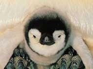 南极企鹅呆萌可爱写真图集欣赏