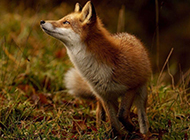 眼神专注锋利的狐狸壁纸图片