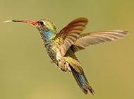 火凤凰蜂鸟飞行图片