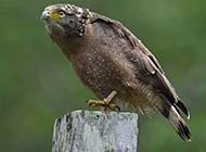 大中型鹰类白腹蛇雕图片
