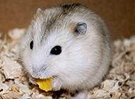 讨人喜爱的小布丁仓鼠图片