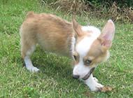 威尔士柯基犬搞笑眼神图片