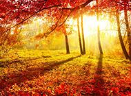 唯美好看的枫树林风景图片