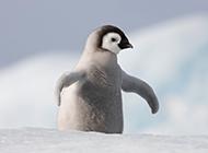 一摇一摆可爱的企鹅图片