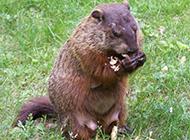 吃花生的土肥圆土拨鼠图片