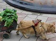 如今连狗狗出来做保姆了