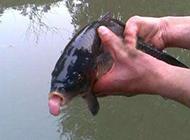 恶搞ps图片吐舌头的鱼