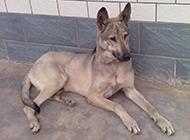 昆明狼青犬庭院休息图片