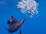 游速最快的鱼类旗鱼的图片