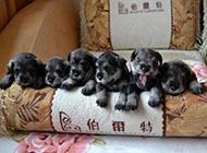 小型雪纳瑞犬调皮可爱图片