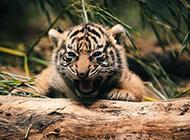 可爱的野生动物宝宝精美高清壁纸