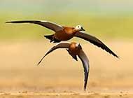 翱翔于碧海蓝天的赤麻鸭高清图片