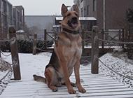 纯种黑背昆明犬雪地霸气图片