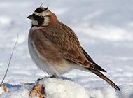 雪地里的虎头百灵鸟图片
