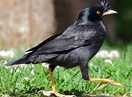 泰国八哥鸟图片威风十足