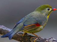 长相精美的红嘴相思鸟图片欣赏