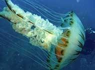 体态轻盈的水母高清大图