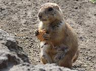 地鼠吃饼干图片可爱呆萌