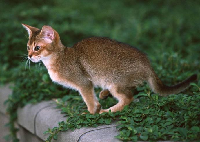 埃及猫动作轻盈活泼图片