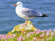 海边海鸥自由翱翔图片特写大全