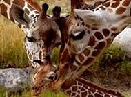 可爱动物长颈鹿精选图片