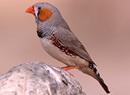 小巧机灵的灰珍珠鸟图片