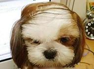 一看发型就知道是领导级的狗狗啊