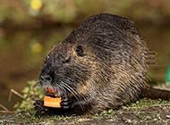 海狸鼠河岸栖息图片大全
