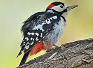 可爱机灵的小啄木鸟图片
