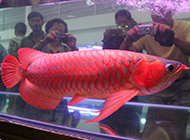 最贵红龙鱼供人观赏图片