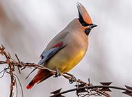 招人喜欢的小太平鸟图片