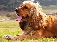 迷人帅气的可卡犬图片