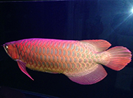 黄金红龙鱼悠然戏水图片