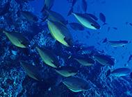 海底成群游过的鱼群图片