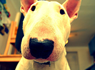 搞笑可爱的牛头梗狗狗图片高清写真