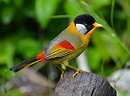 银耳相思鸟图片羽翼多彩