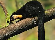 调皮敏捷的印度巨松鼠图片