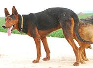 纯种凶猛莱州红犬图片