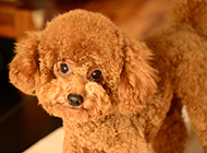 人气萌宠纯种成年泰迪犬图片