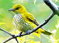 小黄鹂鸟安静乖巧图片