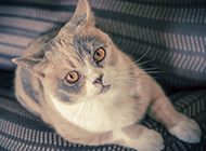 纯种美国短毛猫图片眼神调皮可爱
