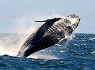 鲸鱼图片跳跃姿态优雅壮观
