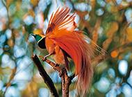 色彩鲜艳的新几内亚极乐鸟图片