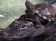 胆大霸气十足的乌龟