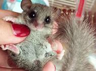 小巧可爱的榛睡鼠图片