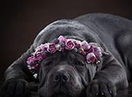 卡斯罗犬标准忧郁眼神图片
