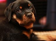 无辜可爱的罗威纳犬三个月大图片