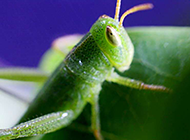 绿色昆虫蚱蜢的微距摄影图片