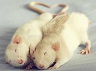 花枝鼠安静休息图片