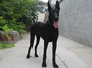 墨界黑狼犬图片展示修长身材